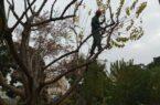 آغاز عملیات هرس درختان در سطح منطقه